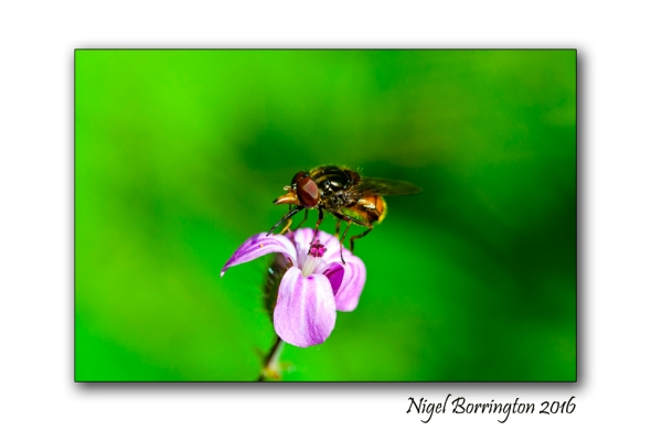 Hoverfly feeding Wildlife photogrpahy Nigel Borrington