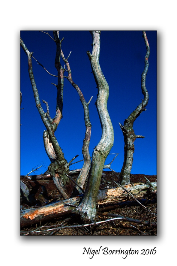 The dead Trees Nigel Borrington 1