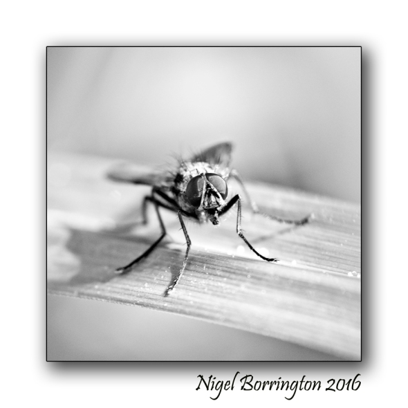 The Fly Nigel Borrington