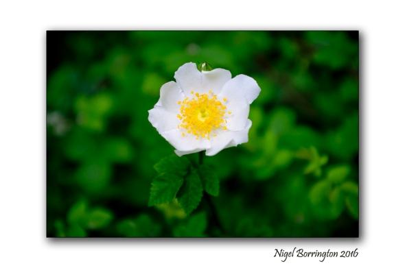 The Guelder Rose  Nigel Borrington