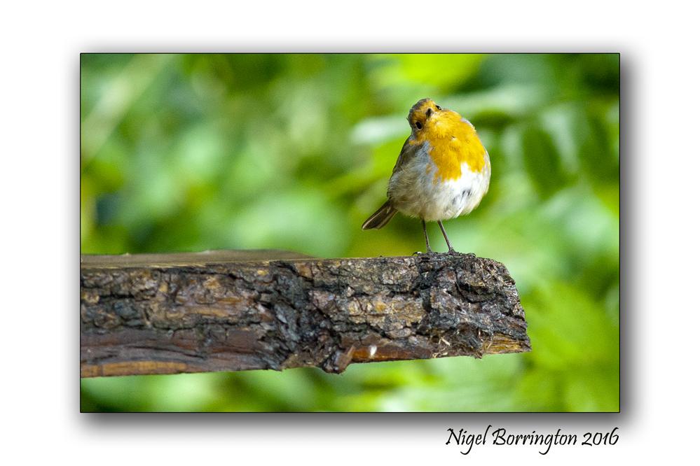 Our Garden Robin 01 Nigel Borrington