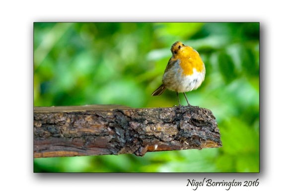 Our Garden Robin 01 Nigel Borrington