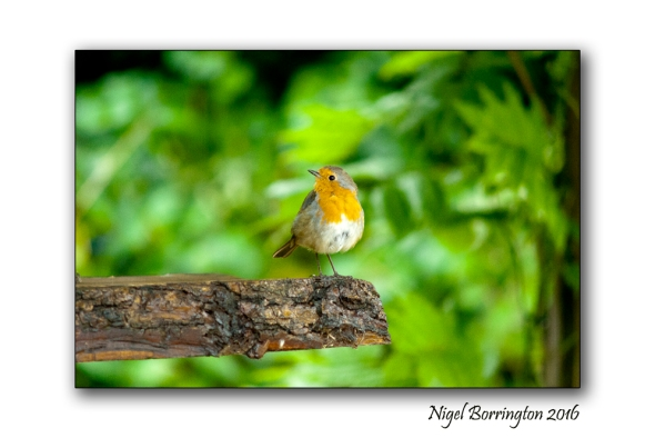 Our Garden Robin 02 Nigel Borrington
