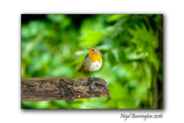 Our Garden Robin 02 Nigel Borrington