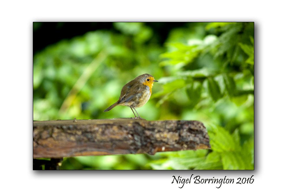 Our Garden Robin 03 Nigel Borrington