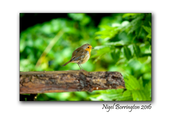 Our Garden Robin 03 Nigel Borrington