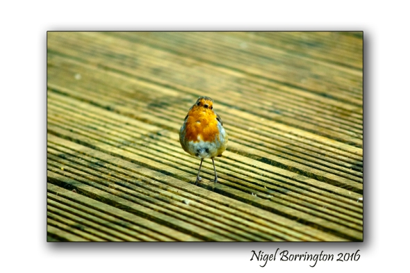Our Garden Robin Nature Photography Nigel Borrington