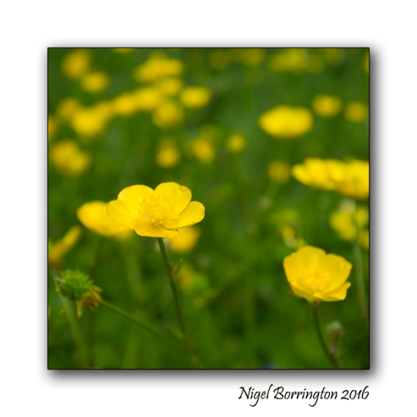 The Buttercup Poem Nigel Borrington Nature Photography 2