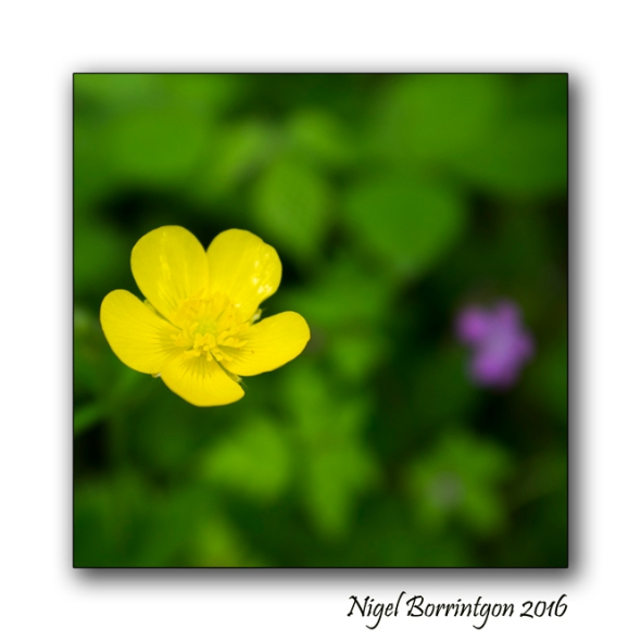 The Buttercup Poem Nigel Borrington Nature Photography 3