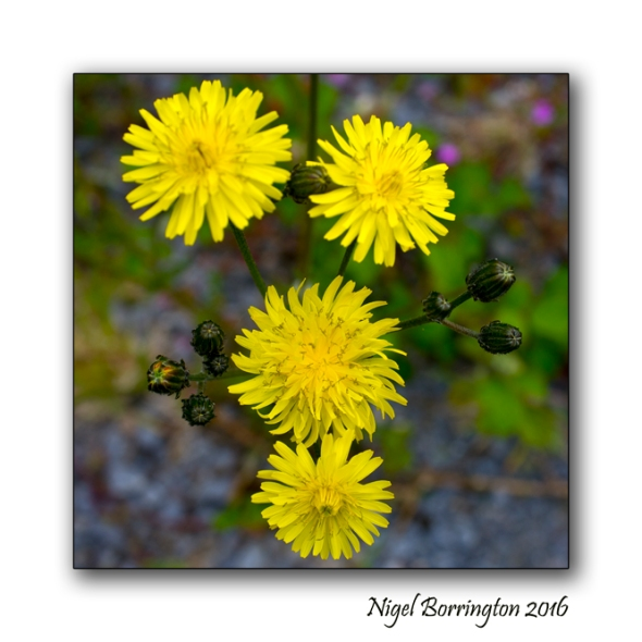 The Buttercup Poem Nigel Borrington Nature Photography 4