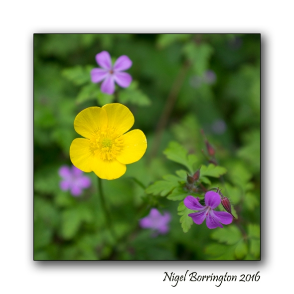 The Buttercup Poem Nigel Borrington Nature Photography