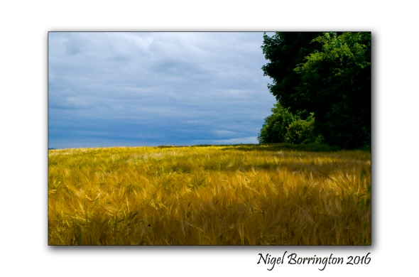 Barley Field County Kilkenny  Nigel Borrington