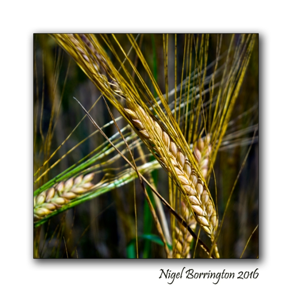 Barley in Kilkennys fields Nigel Borrington 02