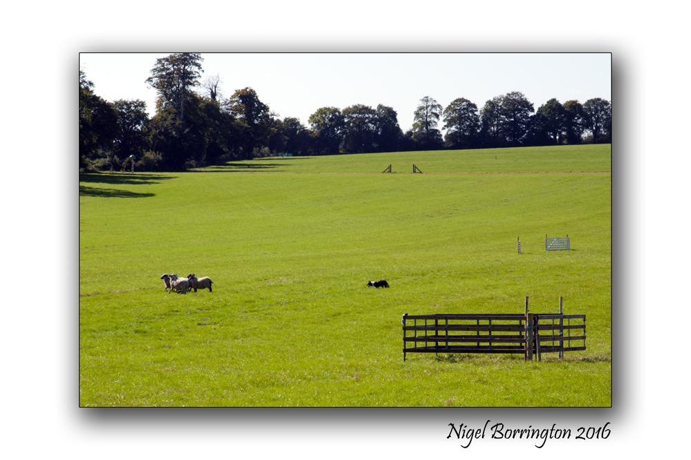 Sheep dof trials ireland Nigel Borrington 02