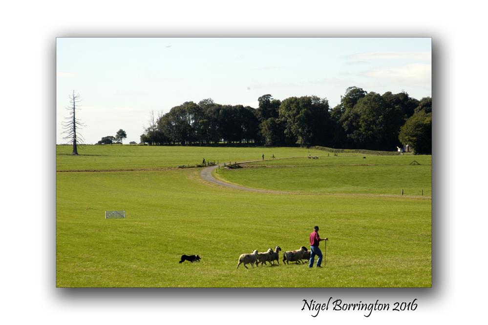 Sheep dof trials ireland Nigel Borrington 03