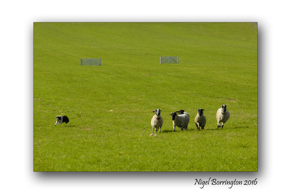 Sheep dof trials ireland Nigel Borrington 04