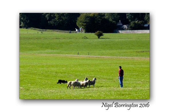 Sheep dof trials ireland Nigel Borrington 05