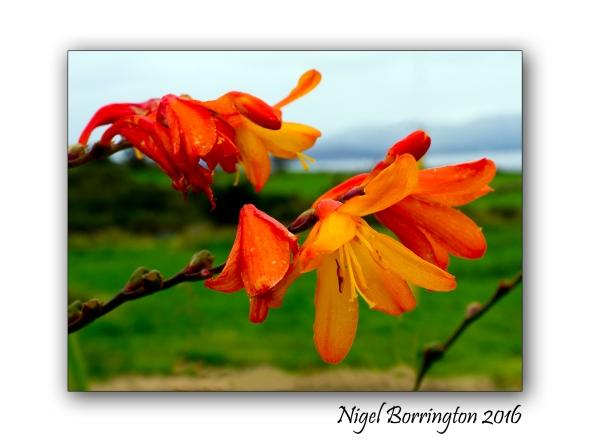 Wild Orange Crocosmia Nigel Borrington 2016