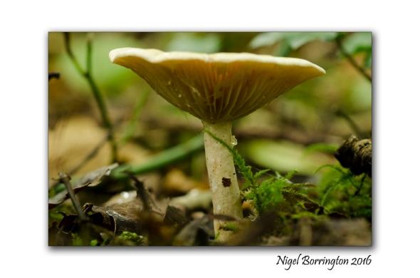 Lactarius blennius Beech milkcap  Kyleaduhir woods Callan , Co. Kilkenny