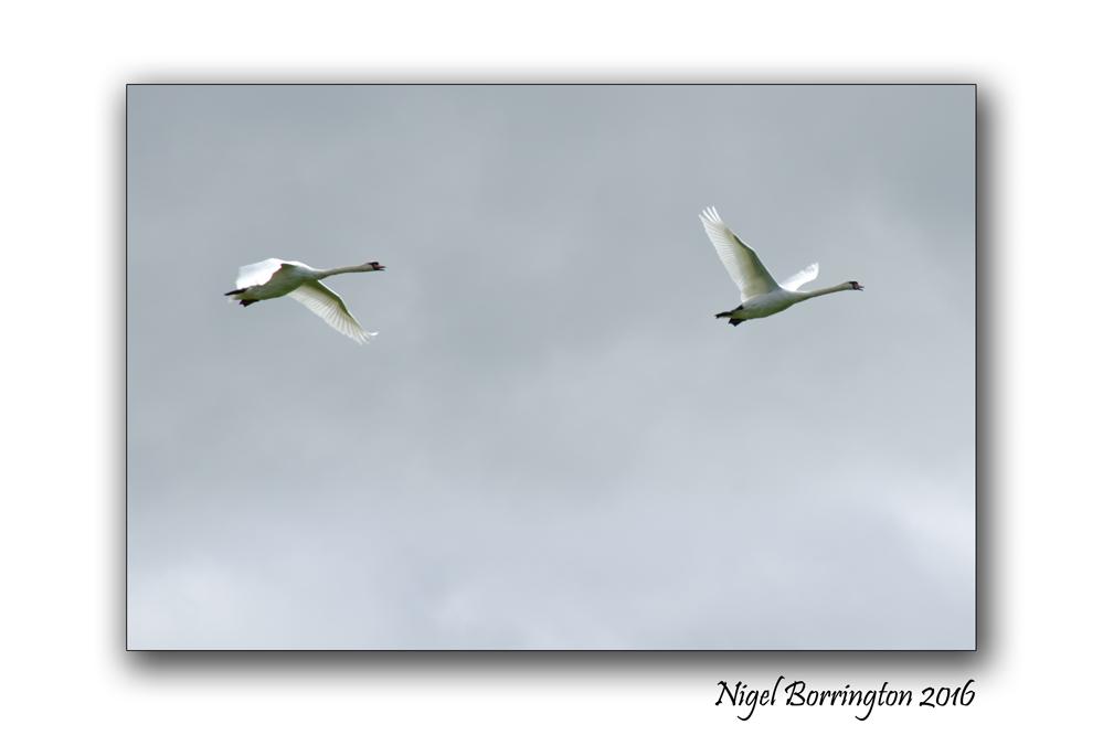 September Swans river Suir Tipperary Nigel Borrington 01