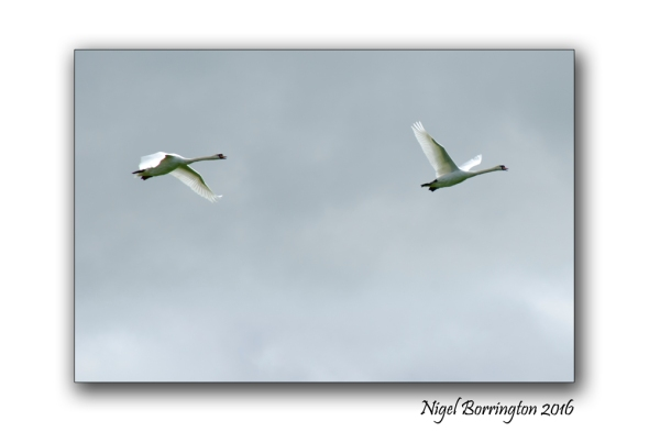 September Swans river Suir Tipperary Nigel Borrington 01