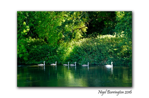 September Swans river Suir Tipperary Nigel Borrington 02