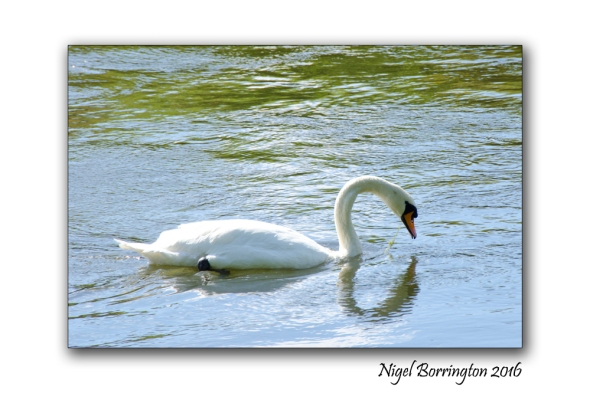 September Swans river Suir Tipperary Nigel Borrington 04
