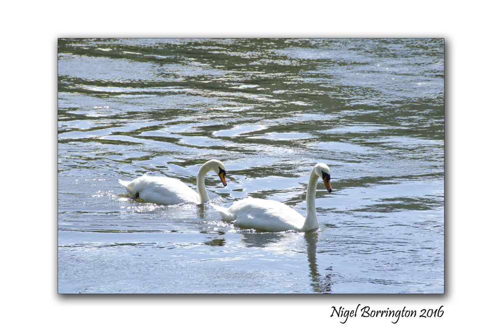 September Swans river Suir Tipperary Nigel Borrington 05
