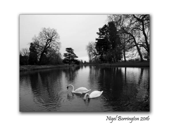two-swans-at-langley-park-nigel-borrington-01