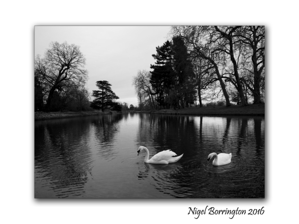 two-swans-at-langley-park-nigel-borrington-02