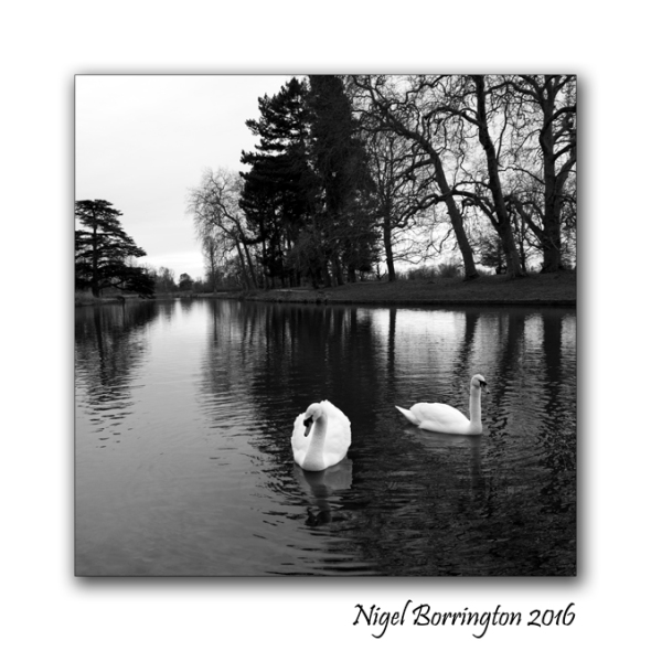 A Study of Wildlife Swans Langley Park Iver Heath