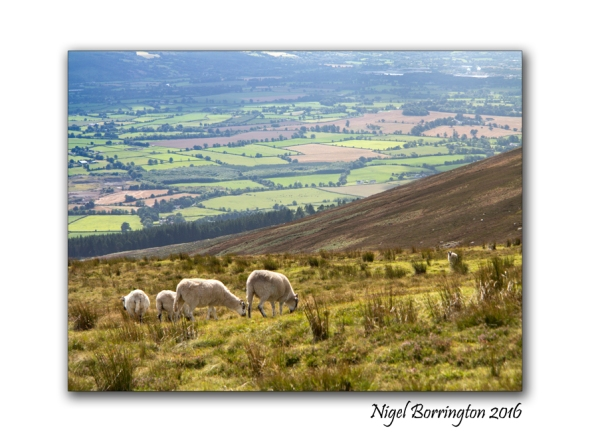 sheep-on-slievenamon-nigel-borrington-01