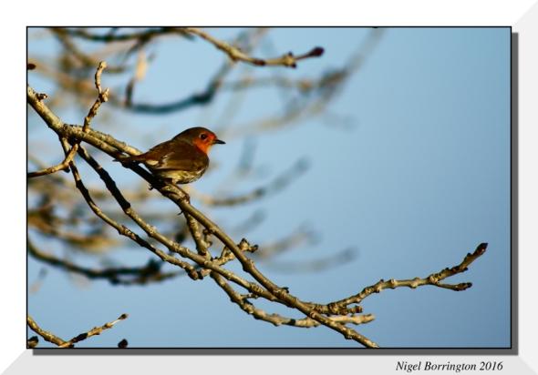 Birds of Irish folk law The Robin Nigel Borrington