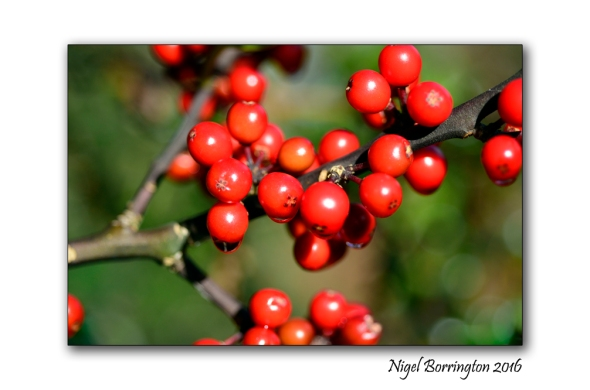 evergreen-holly-tree-nature-photography-nigel-borrington-01