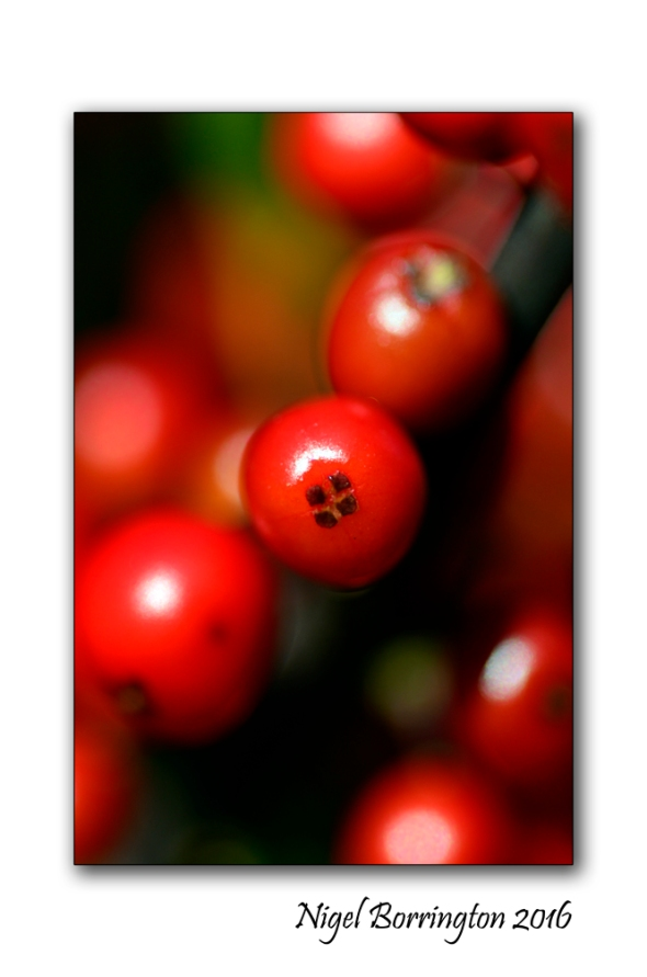evergreen-holly-tree-nature-photography-nigel-borrington-02