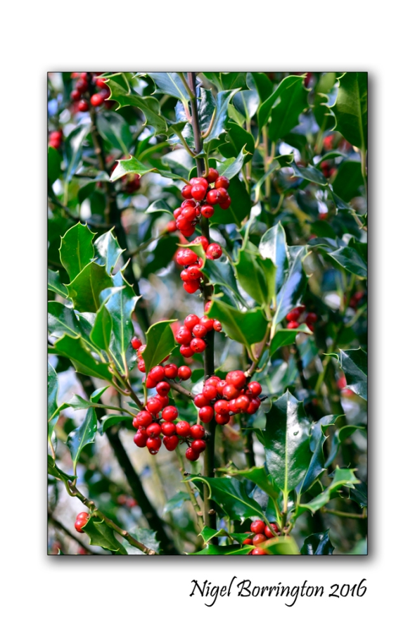 evergreen-holly-tree-nature-photography-nigel-borrington-03