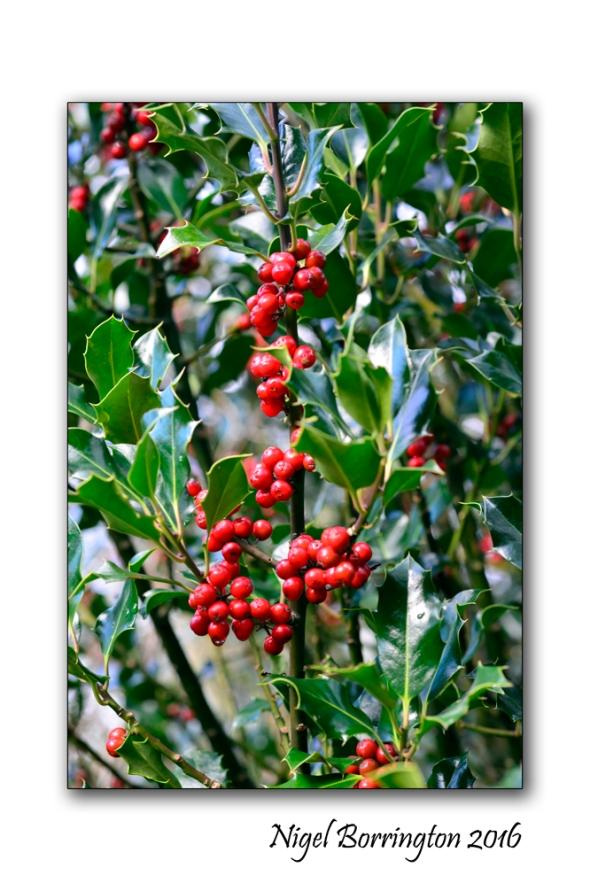evergreen-holly-tree-nature-photography-nigel-borrington-03