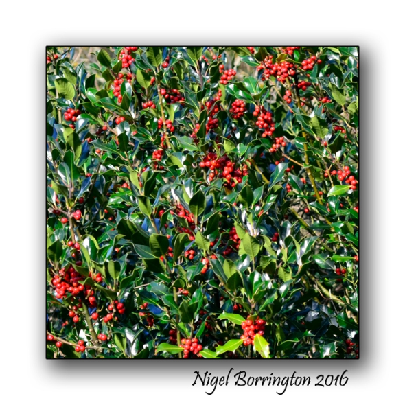 Evergreen Holly  Pagan Nature