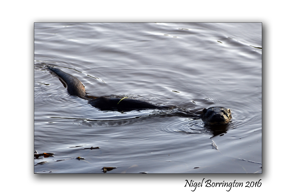 Wildlife weekend Otters on the River Suir County Tipperary Nigel Borrington