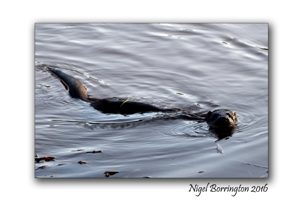 Wildlife weekend Otters on the River Suir County Tipperary Nigel Borrington
