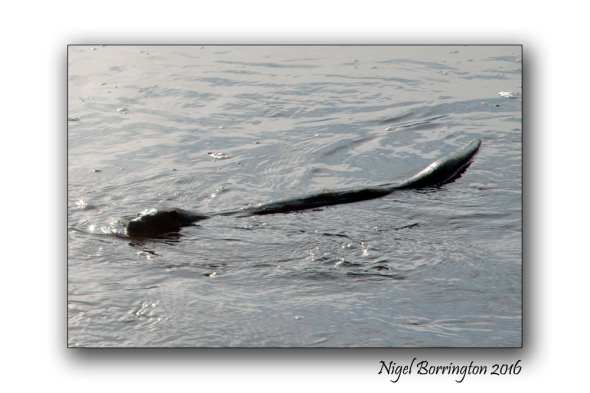 otter-on-the-river-suir-2-nigel-borrington