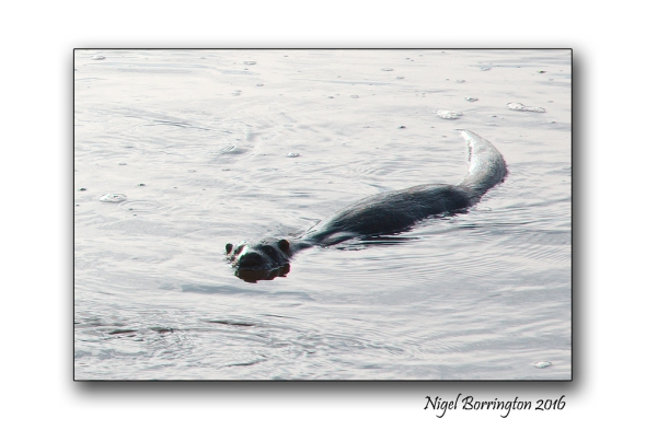 Otters of the River Suir County Tipperary Nigel Borrington