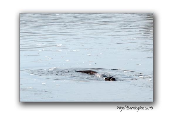 otter-on-the-river-suir-4-nigel-borrington