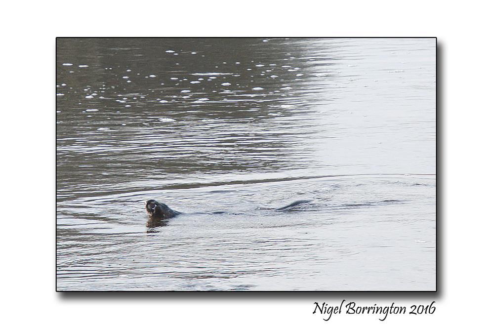 otter-on-the-river-suir-5-nigel-borrington