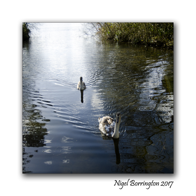 irish-wildlife-two-swans-oak-park-carlow-nigel-borrington-01