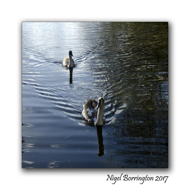 irish-wildlife-two-swans-oak-park-carlow-nigel-borrington-02
