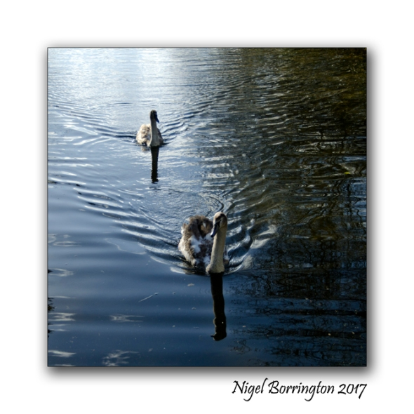 irish-wildlife-two-swans-oak-park-carlow-nigel-borrington-02