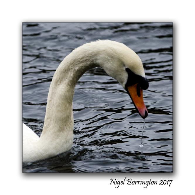 irish-wildlife-two-swans-oak-park-carlow-nigel-borrington-03