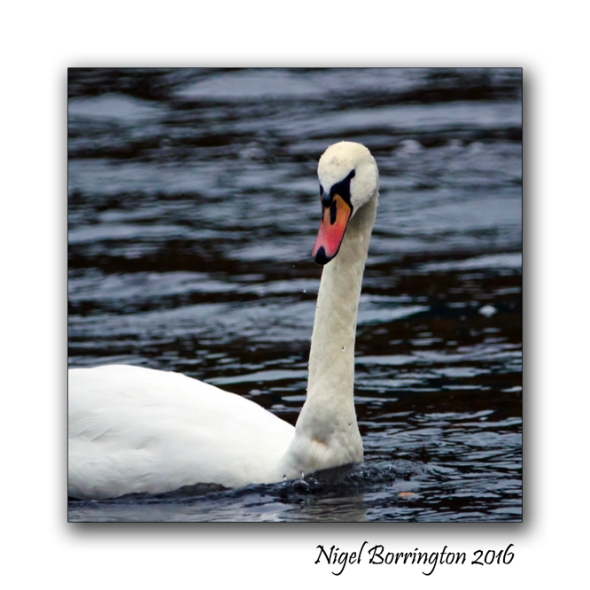 irish-wildlife-two-swans-oak-park-carlow-nigel-borrington-05