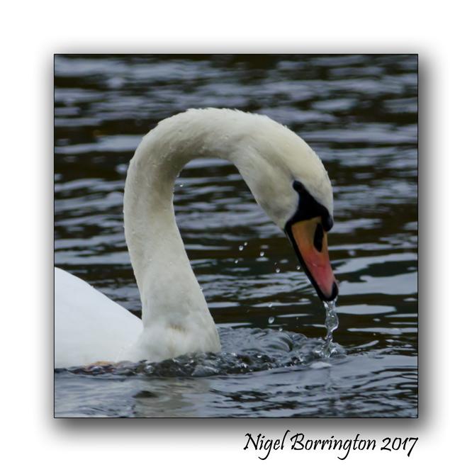 Swans at Oak Park County Carlow Nigel Borrington